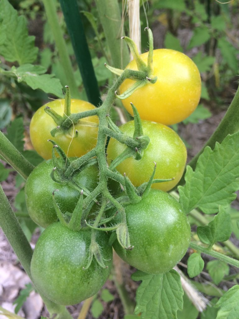'White Cherry'  tomatoes