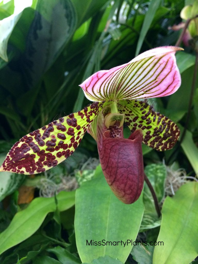 Paphiopedilum at Orchids at Franklin Park Conservatory