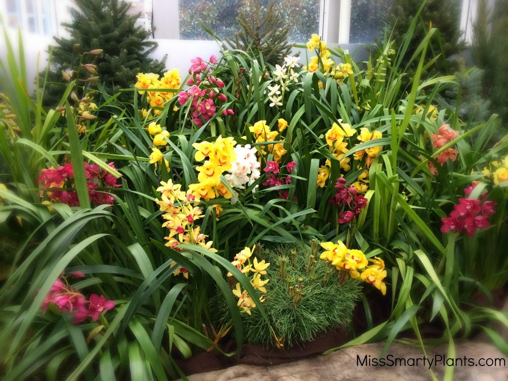 Cymbidium Orchids at Franklin Park Conservatory