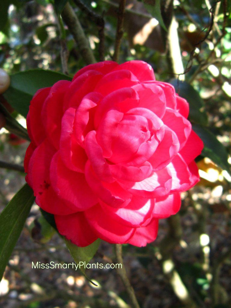 Camellia 'Black Lace' formal double form camellias