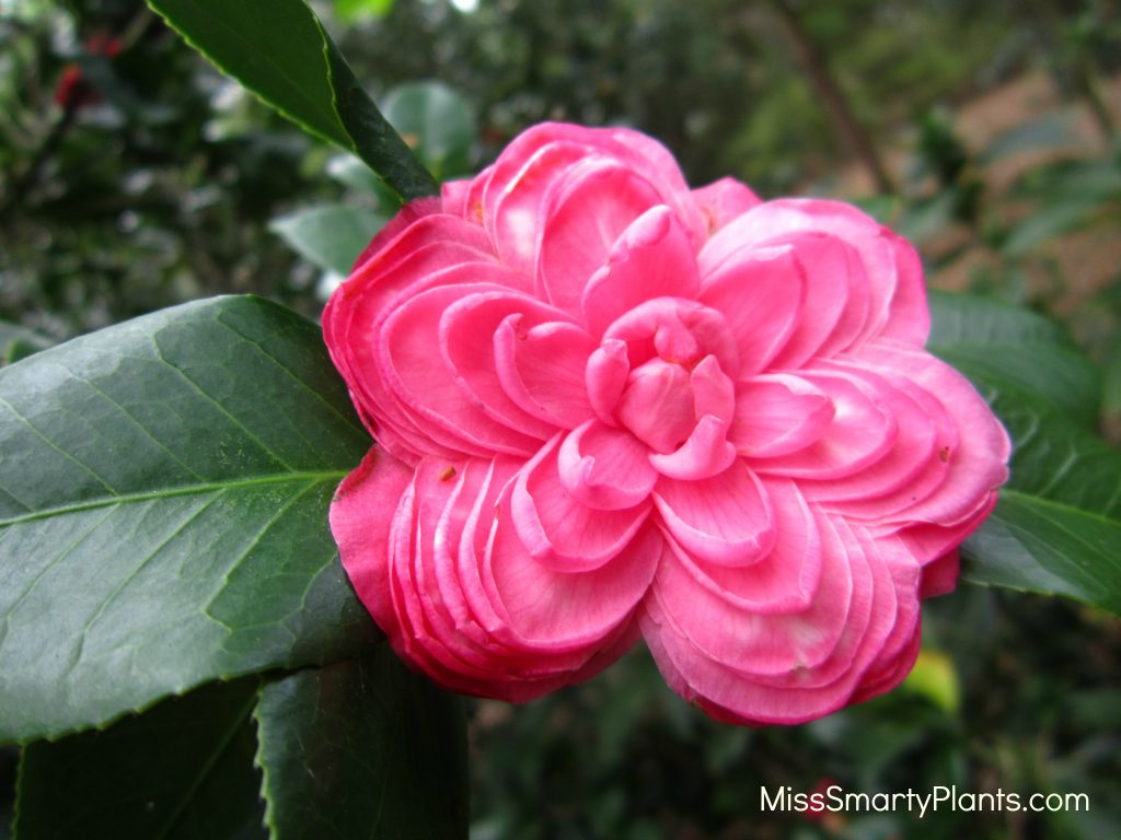 Camellia 'Brooklynia' formal double form camellias