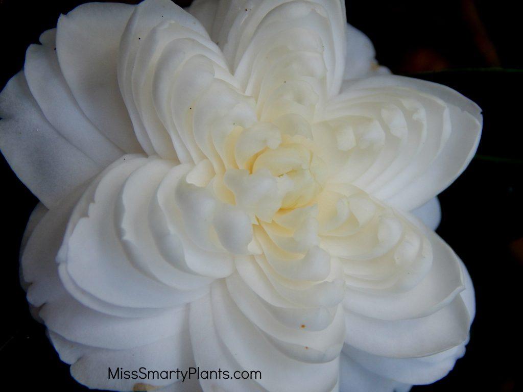 Camellia 'Candidissima' Formal double form camellias