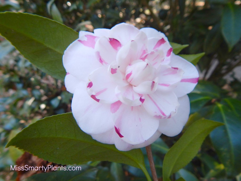 Camellia 'La Peppermint' formal double form camellias