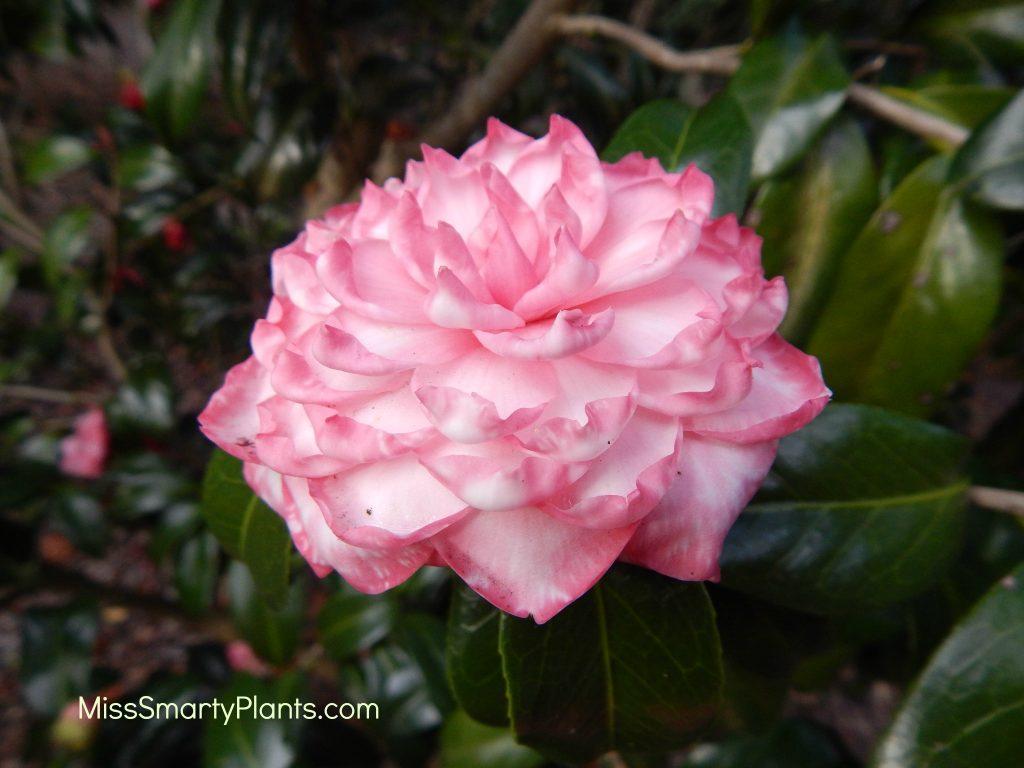 Camellia 'Lallarook' (Lalla Rookh)