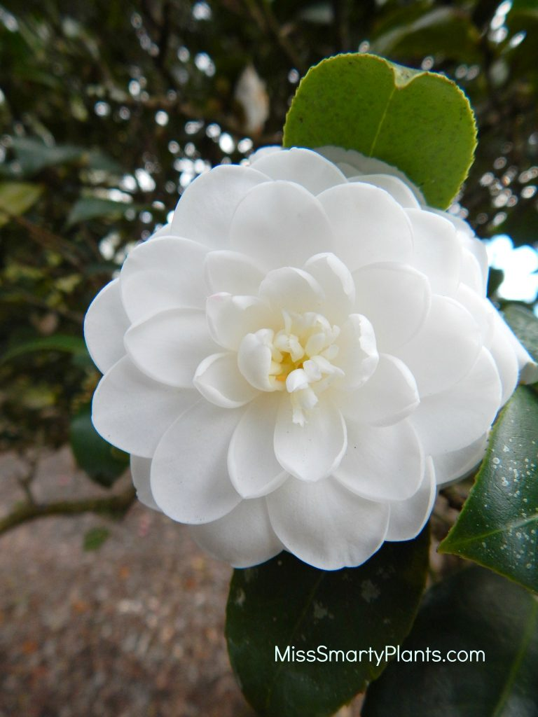 Camellia 'Lilyi' formal double form camellias