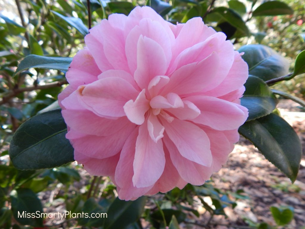 Camellia 'Miss Bessy Belville' formal double form camellias