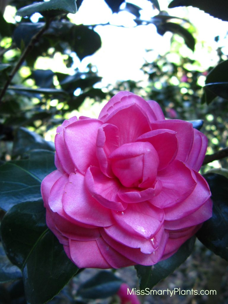 Camellia 'Nuccio's Cameo' formal double form camellias