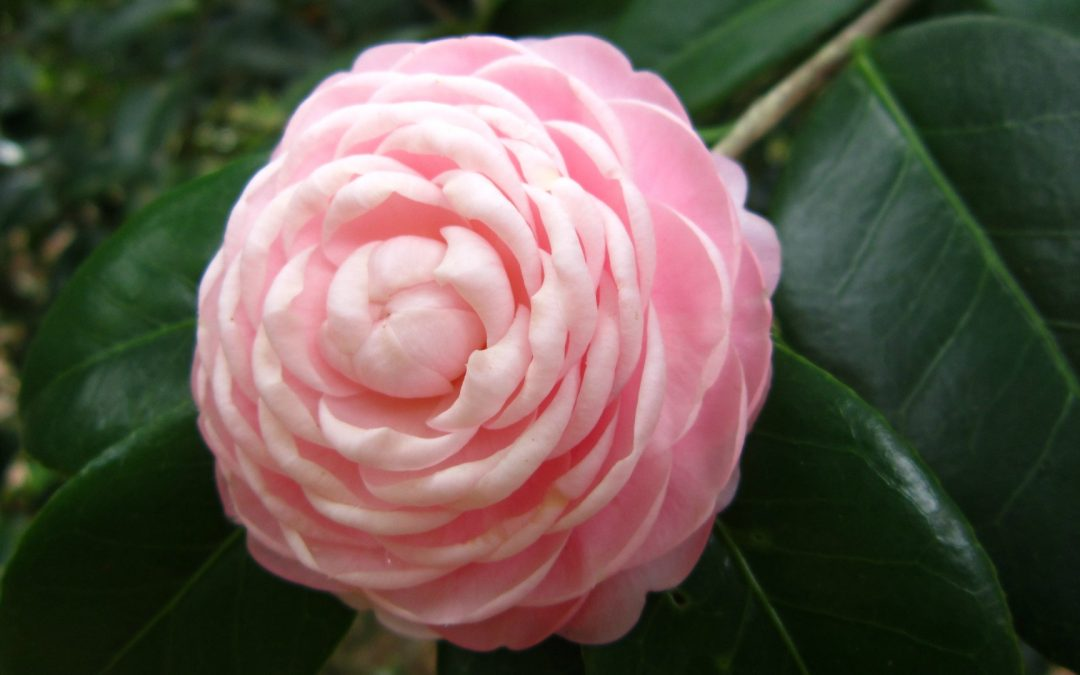 Formal Double Form Camellias