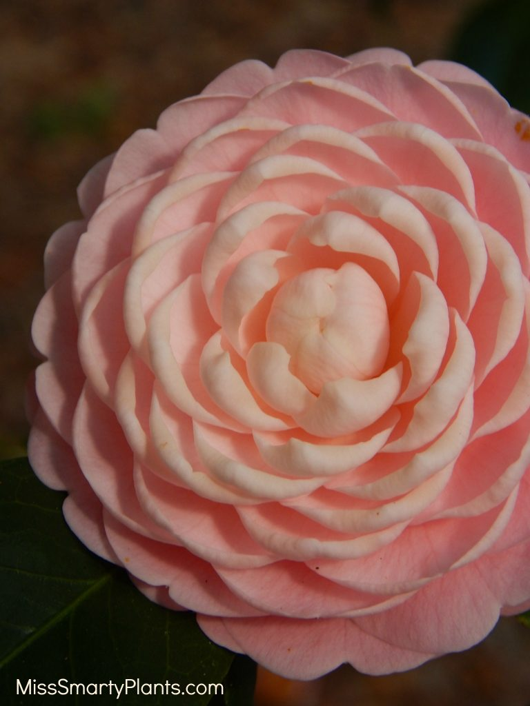 Camellia 'Pink Perfection' formal double form camellias