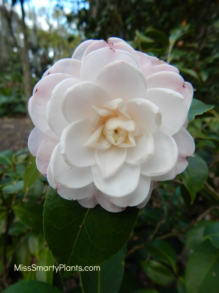 Camellia 'Sawada's Dream' formal double form camellias