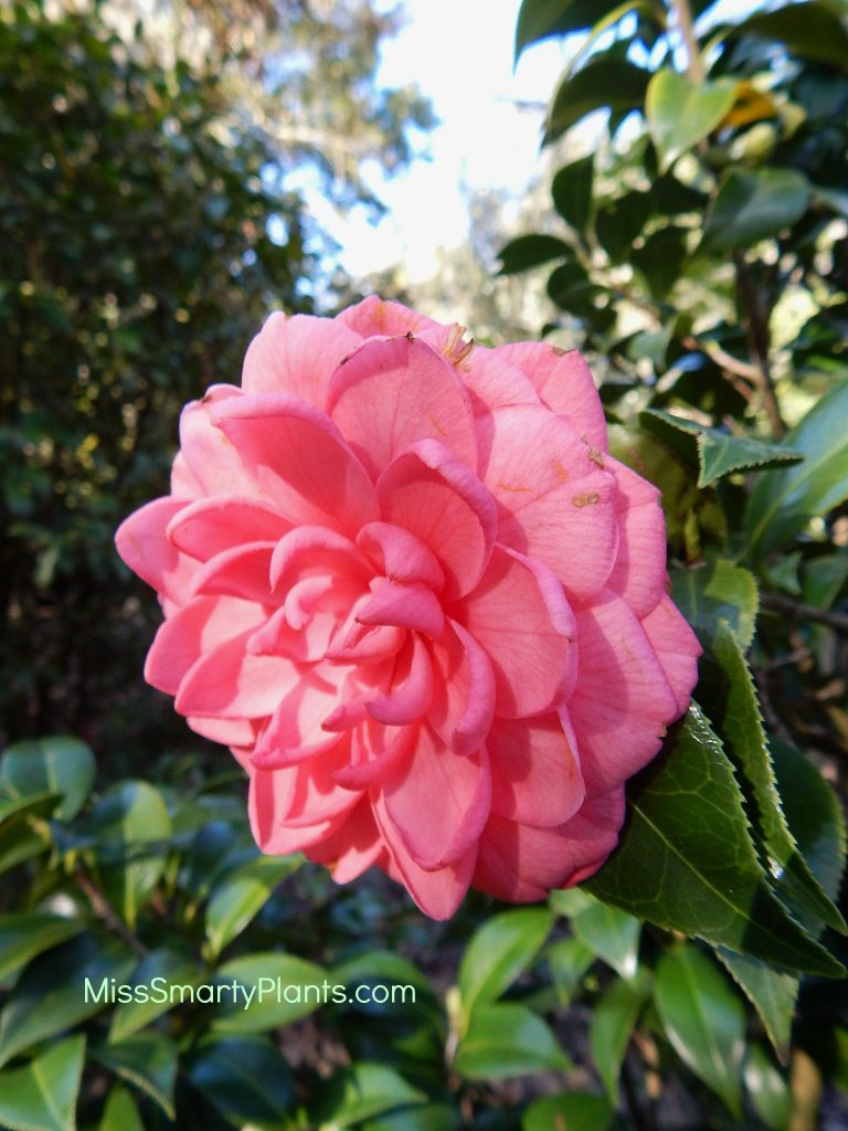 Camellia 'Spring Formal' formal double form camellias