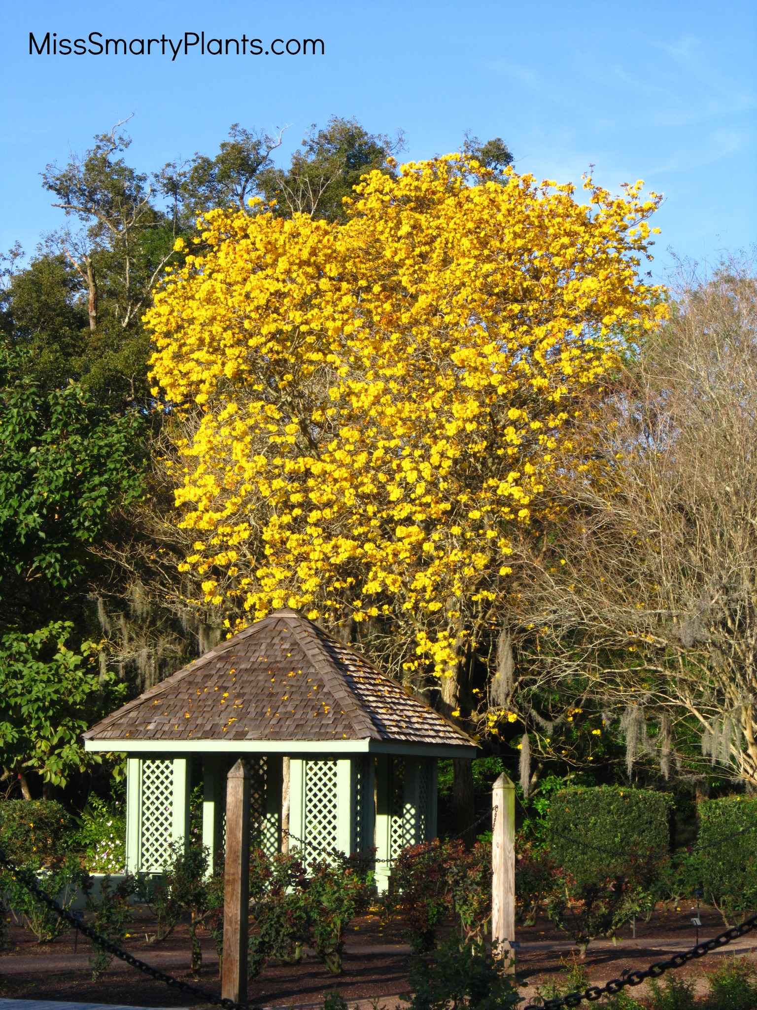 Yellow flowers tabebuia trees miss smarty plants it seems like each march the most commonly asked question is what are those yellow flower trees all over town those my friends are golden trumpet or mightylinksfo