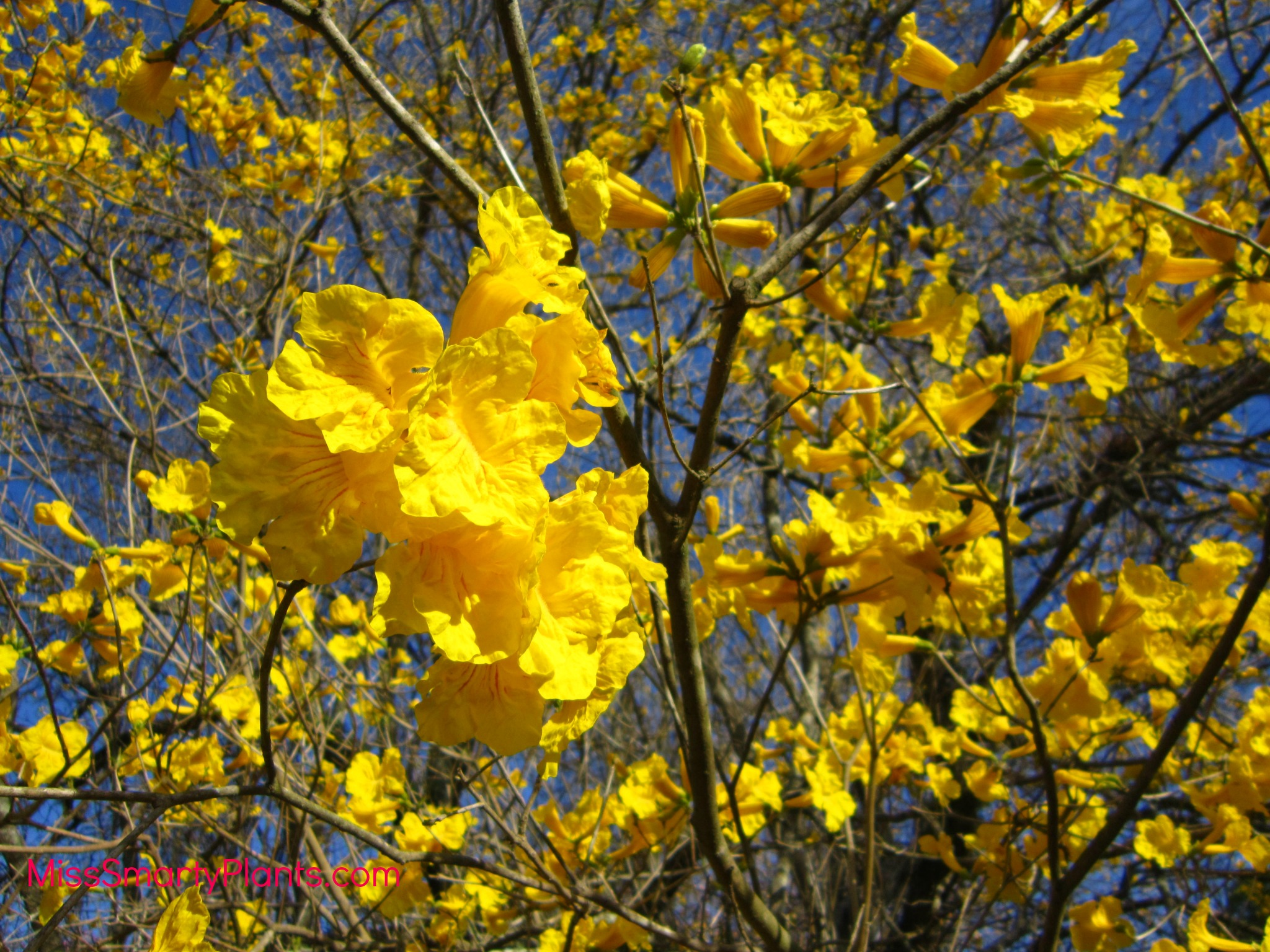 Yellow flowers tabebuia trees miss smarty plants i love the history of these beautiful yellow flowering trees from the orlando sentinel mightylinksfo