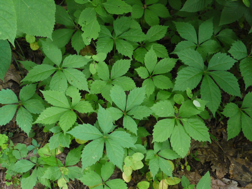 What does poison ivy look like? - Miss Smarty Plants - photo#10