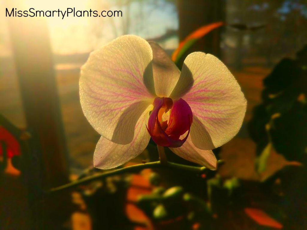 Will my phalenopsis orchid bloom again?