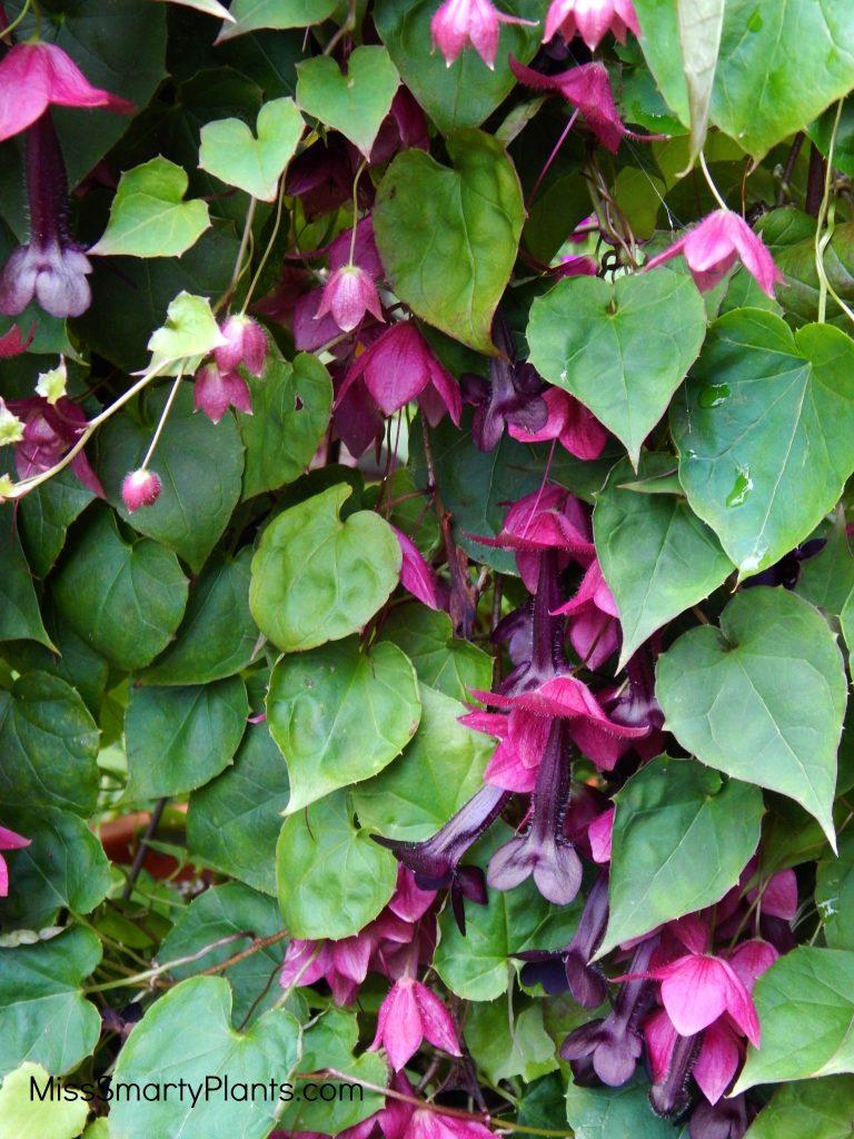 """Rhodochiton atrosanguineum """"Purple Bell Vine"""""""