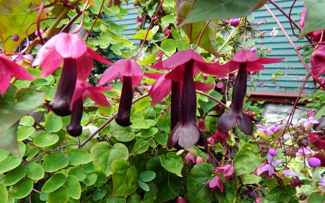 Rhodochiton atrosanguineum- Purple Bell Vine