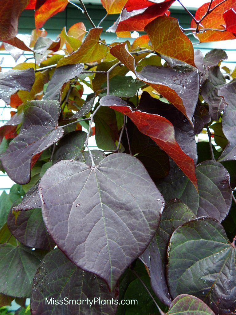Ruby Falls Weeping Redbud Cercis canadensis 'Ruby Falls'