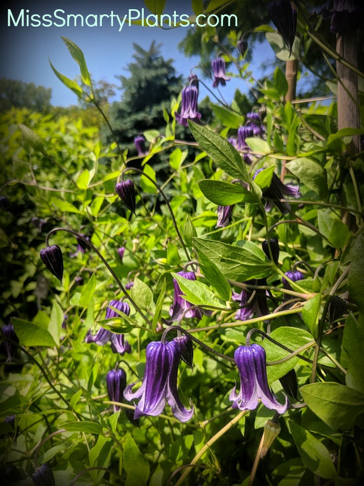 Clematis 'Rooguchi' Omaha's Botanic Garden