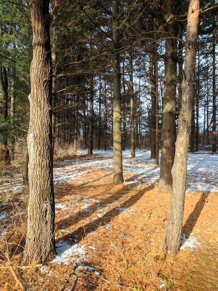 local conservation, pines in winter
