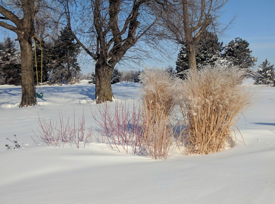 Panicum virgatum 'Northwind' grass standing in snow, grass that stand up in winter