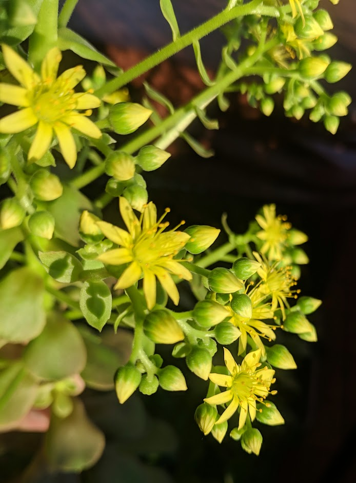 Should I remove succulent flowers? aeonium flowers