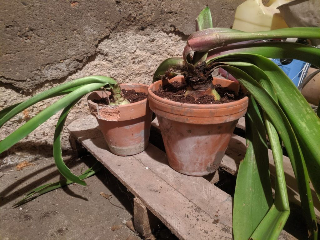 amaryllis indoors amaryllis planted in soil amaryllis