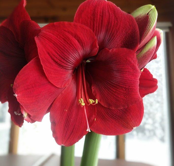 Bringing amaryllis indoors