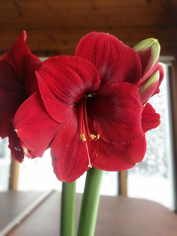 amaryllis indoors