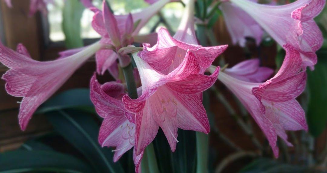 Hippeastrum reticulatum var. striatifolium