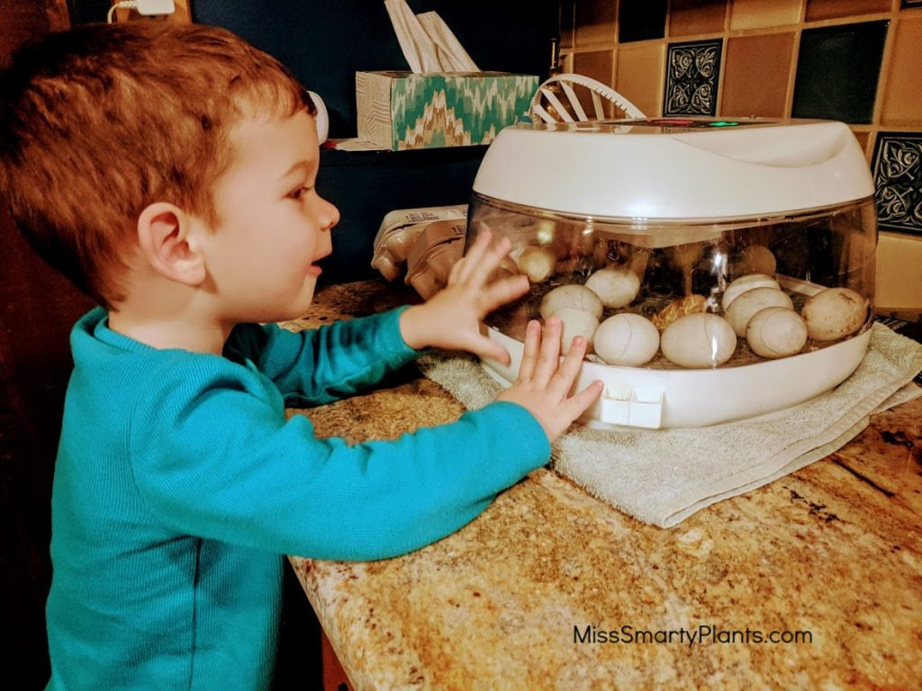 Hatching call duck eggs