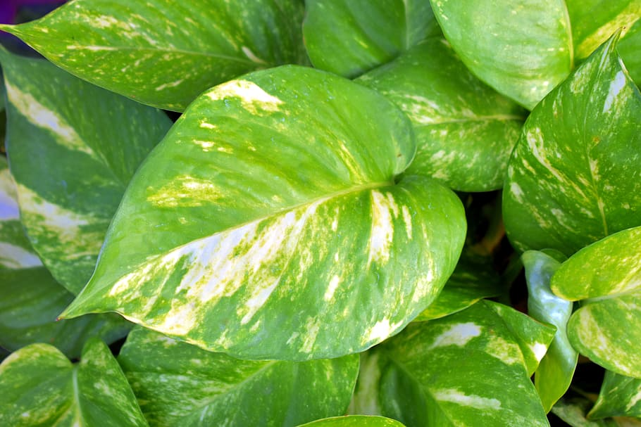 Are Pothos plants toxic to cats?