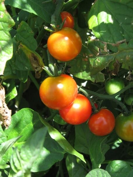 Growing Summer Vegetables in Florida