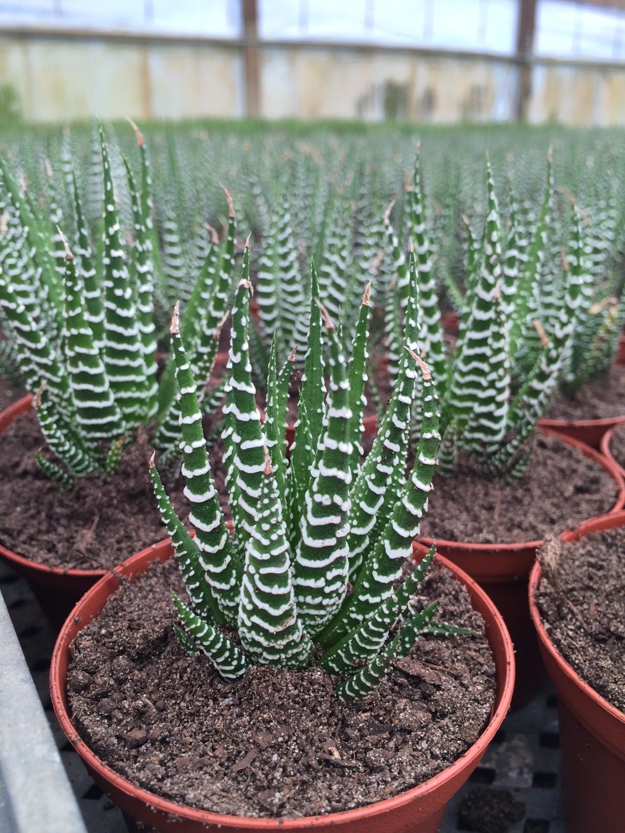 Haworthia Zebrina