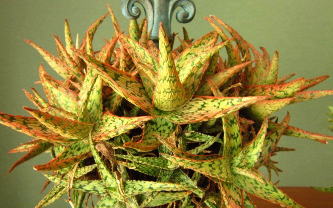 DIY Succulent Topiary