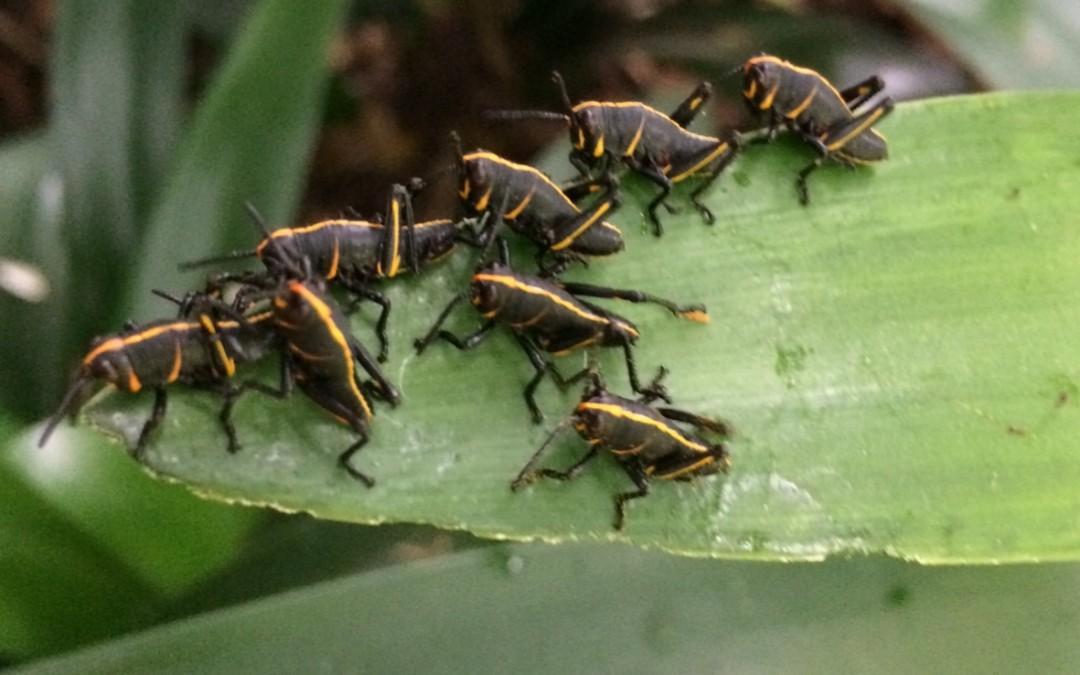 Lubber Grasshopper Control