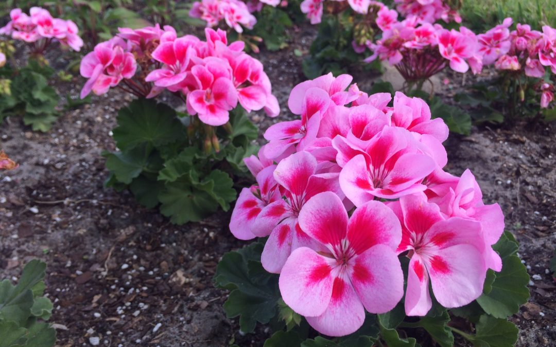 Best Winter Flowers For Florida Gardens