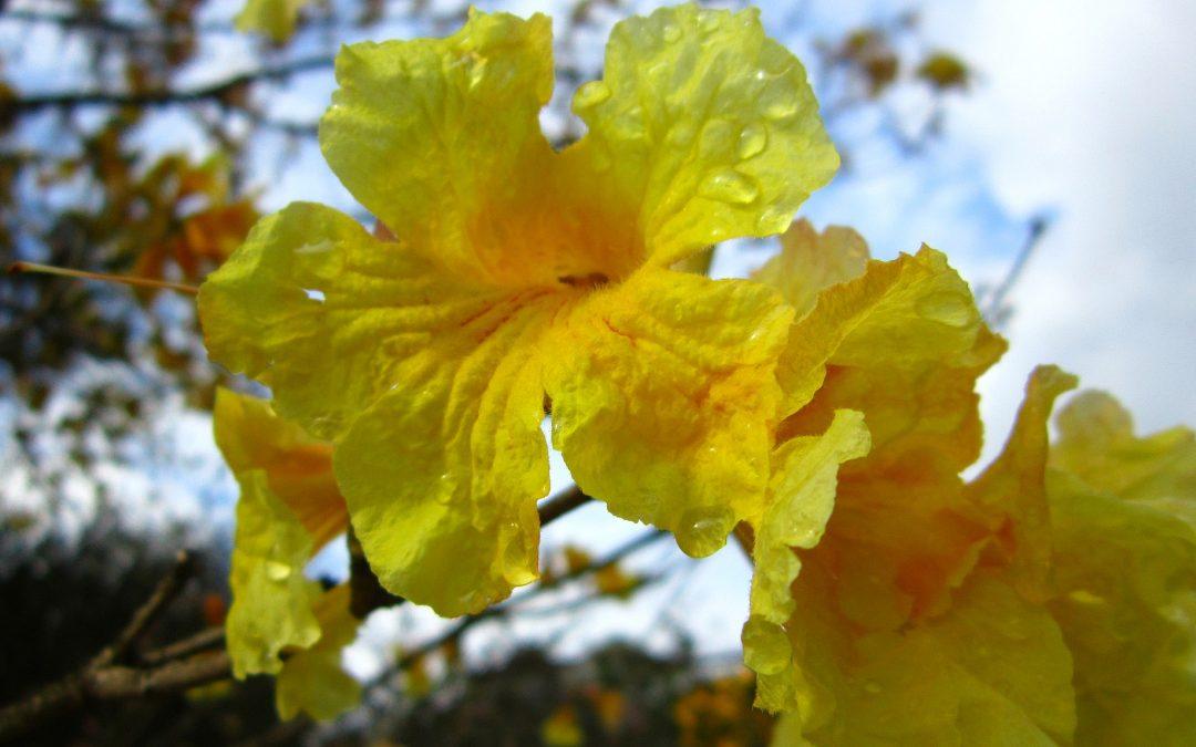 Yellow Flowers? Tabebuia Trees